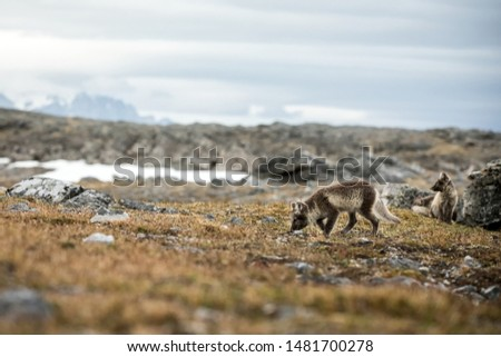 Arctic Fox cubs playing together near their den, Vulpes lagopus, in the nature rocky habitat, Svalbard, Norway, wildlife scene, action, arctic glacier in background, cute young mammals #1481700278