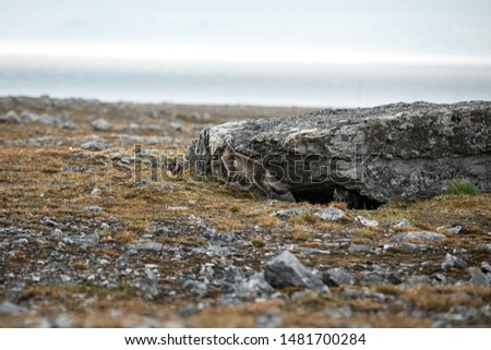 Arctic Fox cubs playing together near their den, Vulpes lagopus, in the nature rocky habitat, Svalbard, Norway, wildlife scene, action, arctic glacier in background, cute young mammals #1481700284