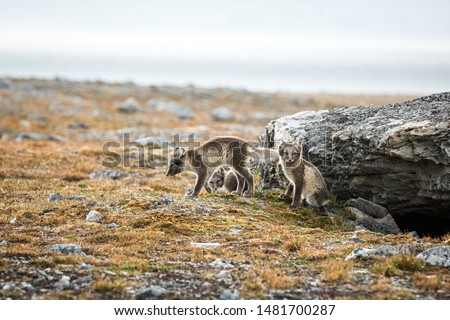 Arctic Fox cubs playing together near their den, Vulpes lagopus, in the nature rocky habitat, Svalbard, Norway, wildlife scene, action, arctic glacier in background, cute young mammals #1481700287