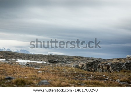 Arctic Fox cubs playing together near their den, Vulpes lagopus, in the nature rocky habitat, Svalbard, Norway, wildlife scene, action, arctic glacier in background, cute young mammals #1481700290