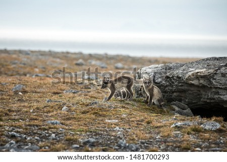 Arctic Fox cubs playing together near their den, Vulpes lagopus, in the nature rocky habitat, Svalbard, Norway, wildlife scene, action, arctic glacier in background, cute young mammals #1481700293