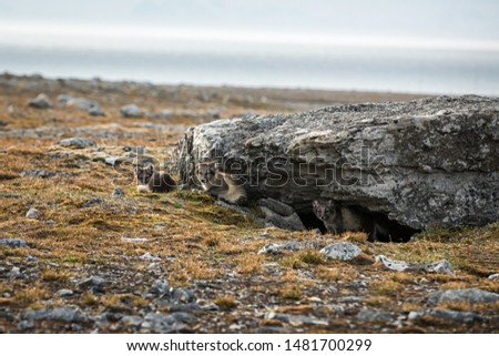 Arctic Fox cubs playing together near their den, Vulpes lagopus, in the nature rocky habitat, Svalbard, Norway, wildlife scene, action, arctic glacier in background, cute young mammals #1481700299