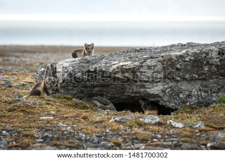 Arctic Fox cubs playing together near their den, Vulpes lagopus, in the nature rocky habitat, Svalbard, Norway, wildlife scene, action, arctic glacier in background, cute young mammals #1481700302