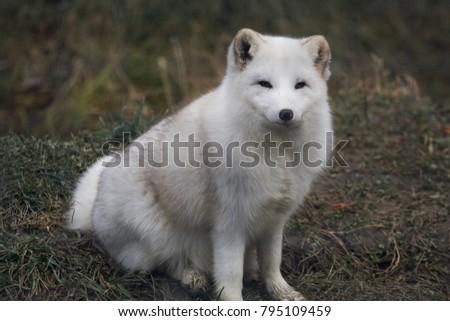 Arctic Fox in autumn. #795109459
