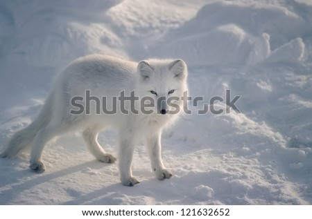 Arctic fox in Canadian Arctic