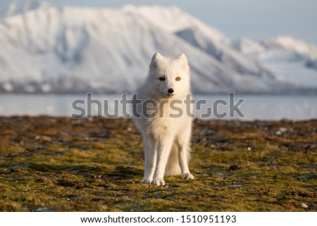 Arctic fox in the rays of sunset Сток-фото ©