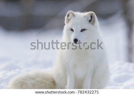 Arctic fox in winter