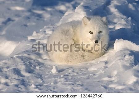 Arctic fox lying on Arctic tundra