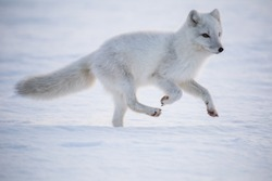 Arctic fox on the first snow