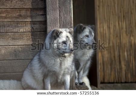 Arctic fox, Polar fox,(Alopex lagopus).