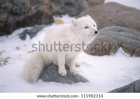 Arctic fox sitting on rock