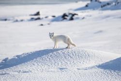 Arctic fox, Spitsbergen