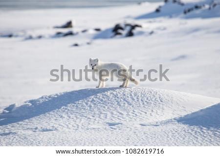 Arctic fox, Spitsbergen #1082619716
