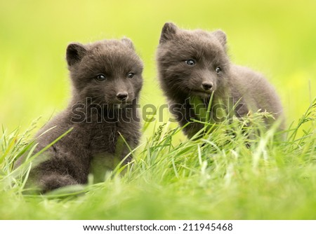 Stock Photo Arctic fox Vulpes lagopus cubs, Iceland.