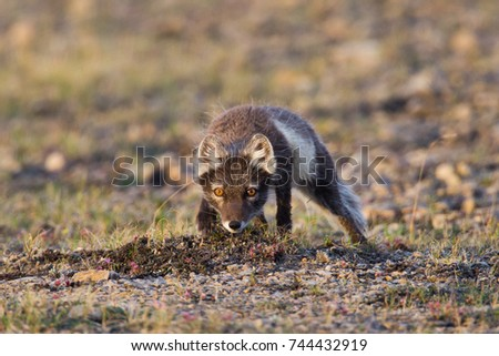 Arctic Fox Vulpes lagopus in summer coat on Baffin Island, Nunavut, Canada #744432919