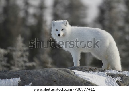 Arctic fox (Vulpes Lagopus) in white winter coat on the Canadian Shield near Churchill Manitoba #738997411