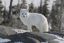 Arctic fox (Vulpes Lagopus) in white winter coat staring off while standing on a large rock with trees in the background, Churchill Manitoba