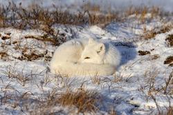 Arctic fox (Vulpes Lagopus) in wilde tundra. Arctic fox lying. Sleeping in tundra.