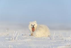 Arctic fox (Vulpes Lagopus) in wilde tundra. Arctic fox yawning.