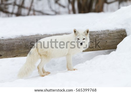 Stock Photo Arctic fox (Vulpes lagopus) standing in the snow in winter in Canada