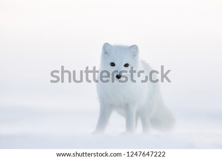 Arctic fox (white fox, polar fox, or snow fox). Cold and snowy December in the Arctic. The photo was taken in the winter in the tundra in the wild. Wildlife of Chukotka, Russia.