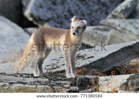 Arctic fox ,white fox , polar fox ,snow fox (Vulpes lagopus) young foraging in rocky terrain on the tundra in summer #771380584