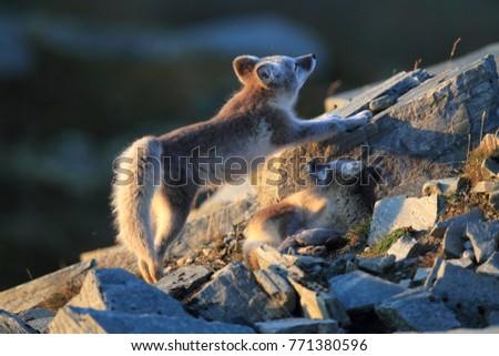 Arctic fox ,white fox , polar fox ,snow fox (Vulpes lagopus) young foraging in rocky terrain on the tundra in summer #771380596