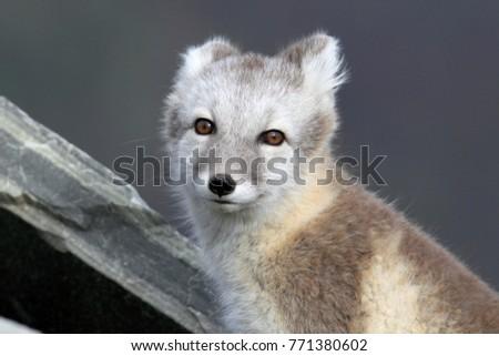 Arctic fox ,white fox , polar fox ,snow fox (Vulpes lagopus) young foraging in rocky terrain on the tundra in summer #771380602