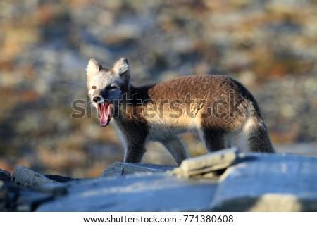 Arctic fox ,white fox , polar fox ,snow fox (Vulpes lagopus) young foraging in rocky terrain on the tundra in summer #771380608