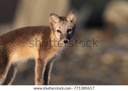 Arctic fox ,white fox , polar fox ,snow fox (Vulpes lagopus) young foraging in rocky terrain on the tundra in summer #771380617