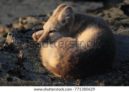 Arctic fox ,white fox , polar fox ,snow fox (Vulpes lagopus) young foraging in rocky terrain on the tundra in summer #771380629