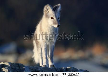 Arctic fox ,white fox , polar fox ,snow fox (Vulpes lagopus) young foraging in rocky terrain on the tundra in summer #771380632