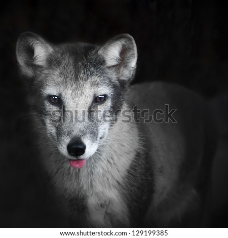 Arctic fox with pink tongue  on dark background