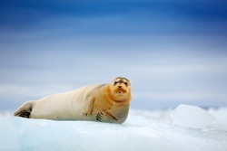 Arctic marine wildlife. Cute seal in the Arctic snowy habitat. Bearded seal on blue and white ice in arctic Svalbard, with lift up fin. Wildlife scene in the nature. Icebreaker with seal.