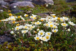 Arctic mountain avens or alpine dryad, forming a large colony of plants on the arctic tundra that are round-hugging and thrive in the cold