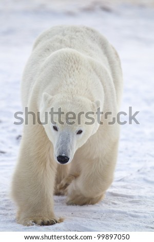 Arctic polar bear walks toward camera