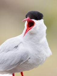 Arctic Tern beak open