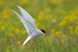 Arctic Tern flying with yellow flowers and grass in the background
