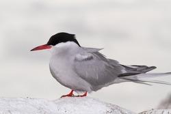 arctic tern great migratory seabird islands england