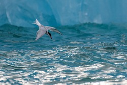 Arctic tern hunting by an ice berg in Svalbard