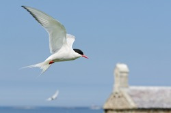 Arctic Tern in flight / Arctic Terns (Sterna paradisaea) are a spring visitor to nest on the Farne Islands in the UK