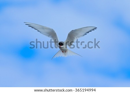 Arctic Tern in flight, Sterna paradisaea, white bird with black cap, blue sky with white clouds in background, Svalbard, Norway