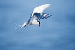 Arctic tern in mid-air