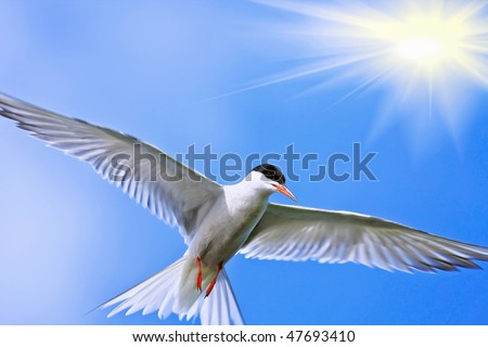 Arctic Tern in mid-flight, taken against the sun