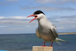 arctic tern of roost