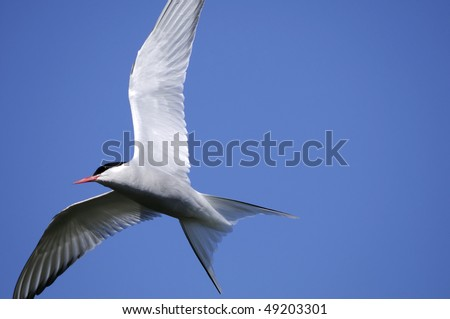 arctic tern, sterna paradisaea - stock photo