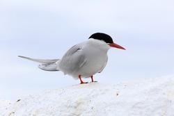 Arctic Tern (Sterna paradisaea), adult standing, Farne Islands, Northumbria, England, UK.