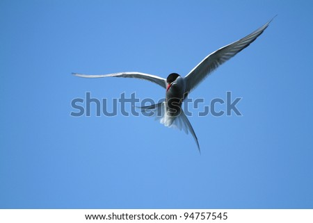 Arctic Tern (Sterna paradisaea) hunting for food at Myvatn in northern Iceland