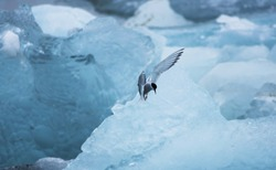 Arctic tern (Sterna paradisaea) in flight hunting fishes in Iceland. White bird seeking for fish. Photo of wild white bird with spread wings and ice floes and icebergs in background.