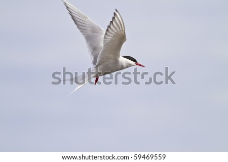 Arctic tern (sterna paradisaea) in flight . These birds are long lived. Every year they fly from the arctic to the antarctic and back  travelling about 1.5 million miles in a life time.